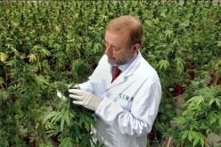 Marihuana leczy, niezabija