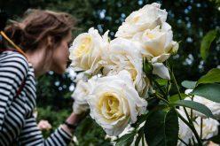 Skąd się wzięło 20 tysięcy róż