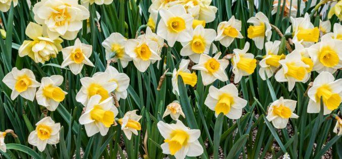 Narcyzy – rośliny przywołujące wiosnę