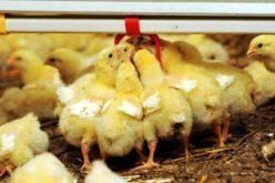 NietylkoCOVID-19, wPolsce szaleje też ptasia grypa