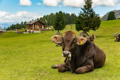 Brązowe krowy dają czekoladowe mleko
