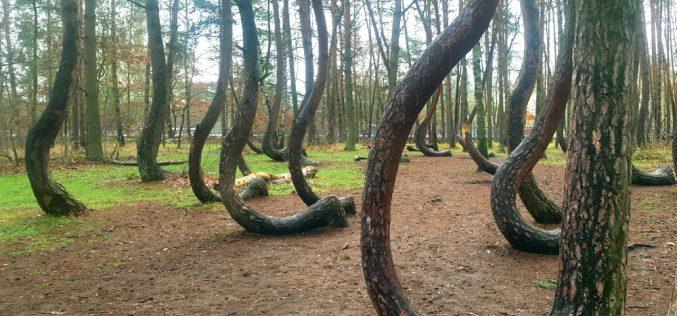 Tajemnica Krzywego Lasu