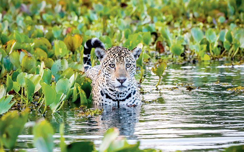 Cicha śmierć jaguarów