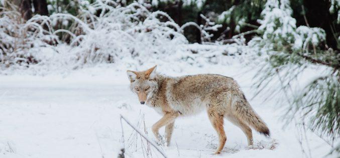Odstrzał wilków wWielkopolsce