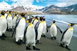 Wkolonii pingwinów cesarskich naAntarktydzie