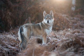 Dlaczego zabito brzozowskie wilki?