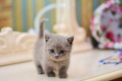 Kot zkrótkimi łapkami – sympatyczny iprzyjacielski towarzysz człowieka