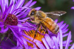 Holenderskie pszczoły potrafią wykryć koronawirusa