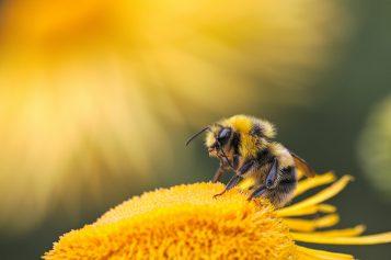 Wymieranie pszczół