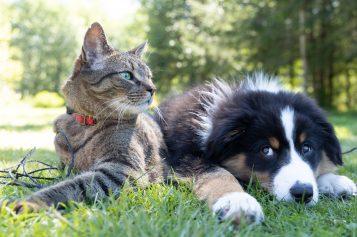 Koty ipsy zarażają się COVID-19 odwłaścicieli