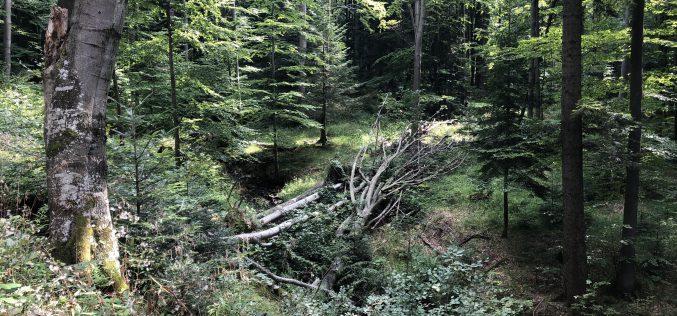 Bukowe lasy wBieszczadach naliście UNESCO