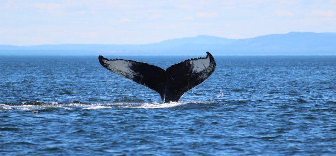 Wieloryby nawygnaniu