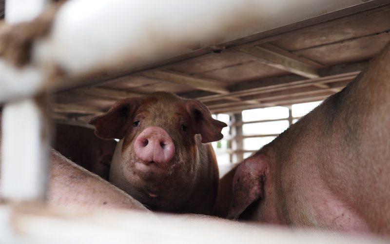 WPolsce zabija się prawie 1,3 mld zwierząt rocznie